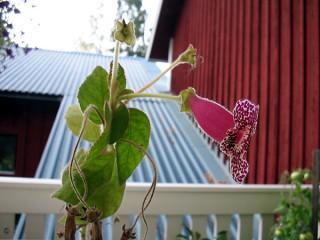 mysko blomma