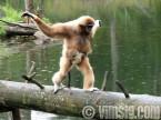 gibbonapa med unge springer undan regnet