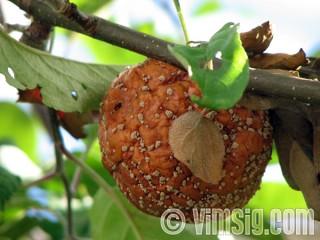 gammalt äpple