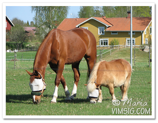 hästarna i hagen