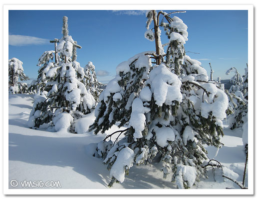 snöiga grenar