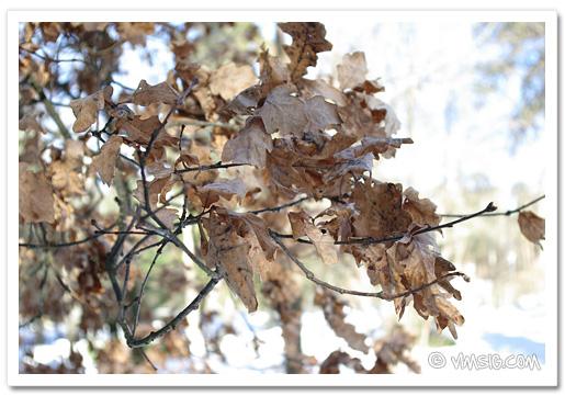 kvarblivna löv från förra hösten