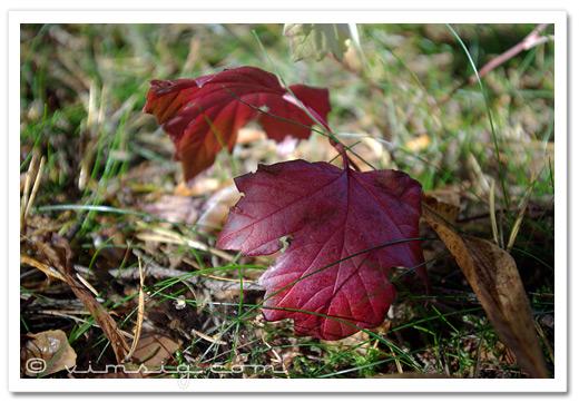 röda löv