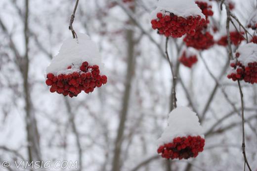 rönnbär under snö