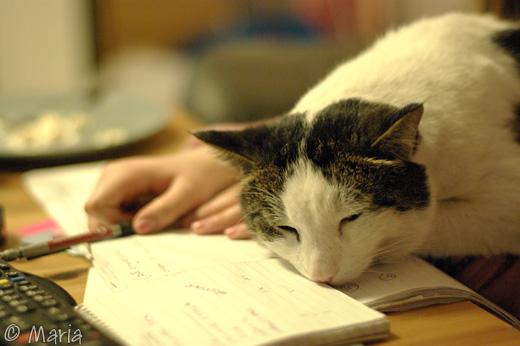 trött pluggande katt