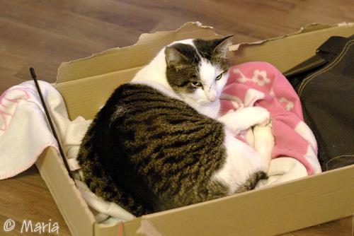 gosekatt i låda