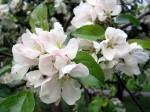 vit blom