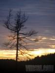 skabbigt träd
