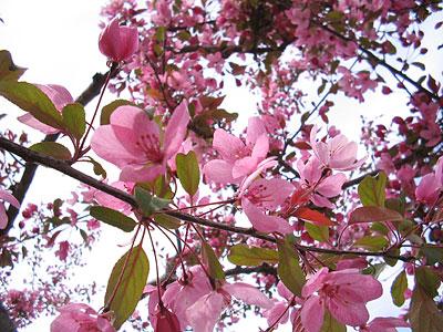 rosa söta blommor